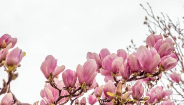 Magnolia flowers in spring season