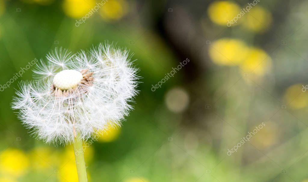 Dandelion seed head bevor green background, Taraxacum flower