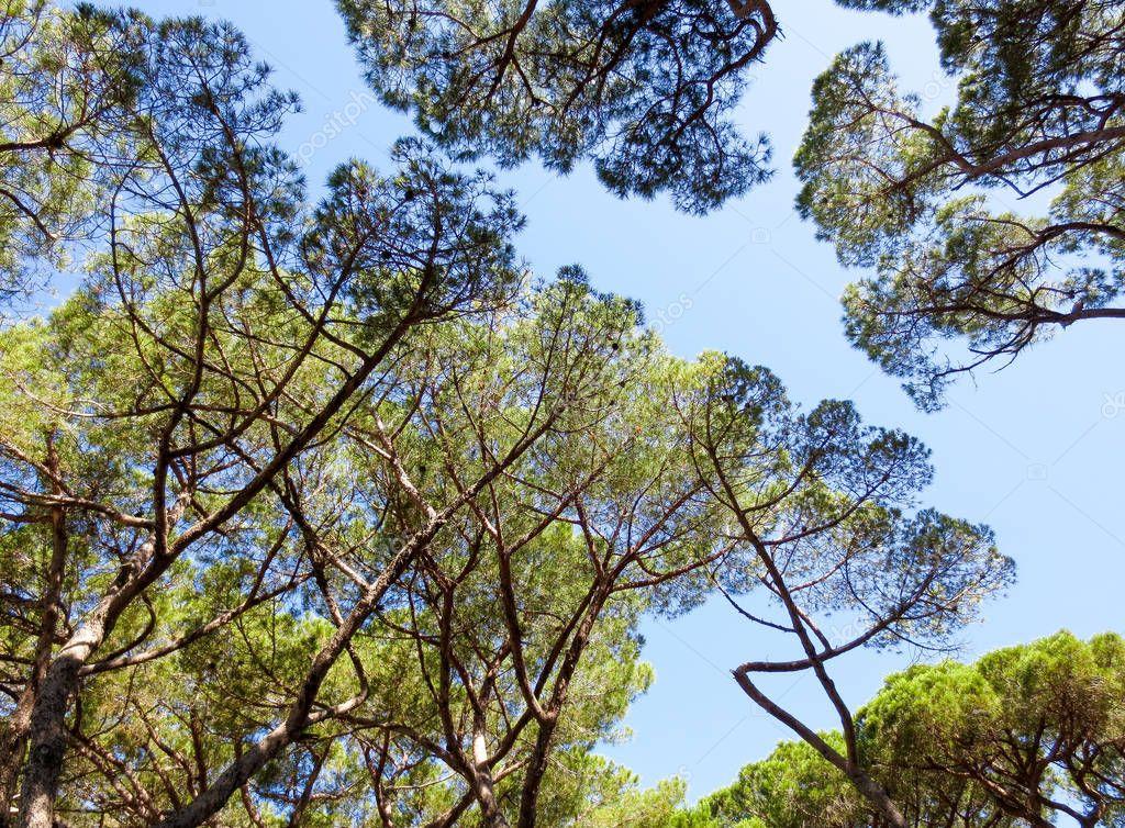 Pine trees textures, upward view