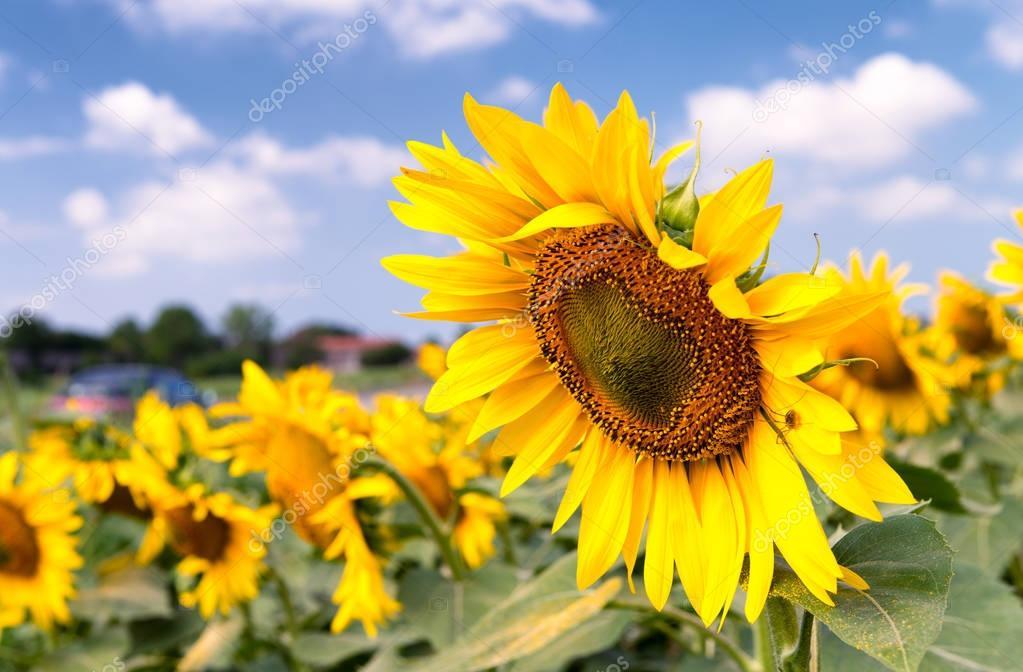 Sunflower field in summer season