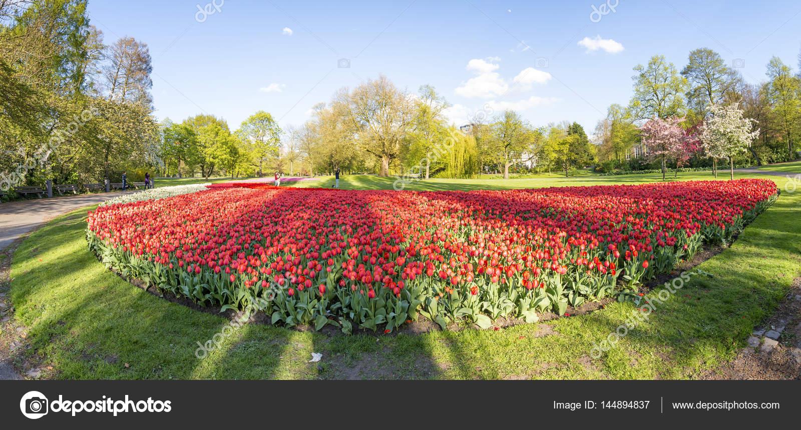tulips meadow in rotterdam park the netherlands stock photo - Tulip Garden Near Me