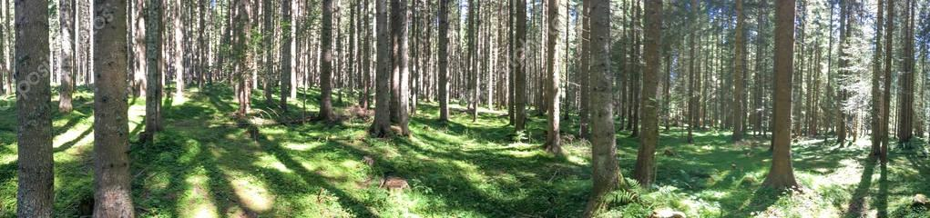 Panoramic view of alpin woods in summer