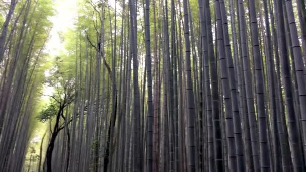 high bamboo trees growing in dense forest