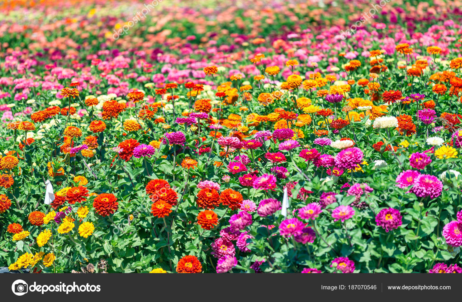 Field colorful flowers spring season concept stock photo field of colorful flowers spring season concept photo by jovannig mightylinksfo