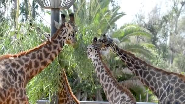 giraffes grazing in natural habitat, video