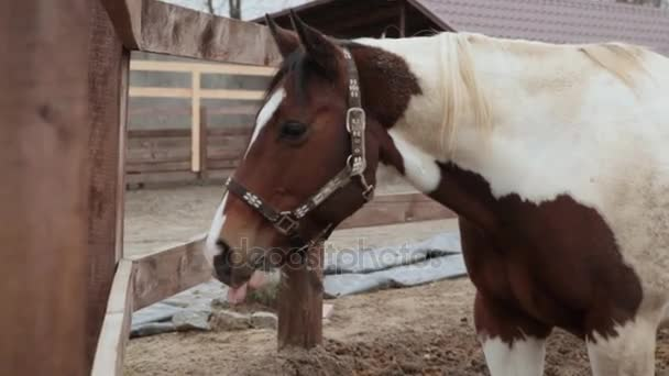 Horse eats hay in a pen. Horse eats hay. Three-colored horse eating hay on the street. The cloudy day and the horse is eating hay. A horse stands in the corral.
