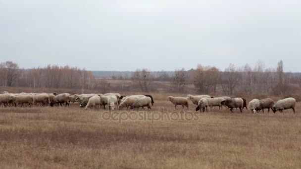 Stádo ovcí v pozdní podzim. Ovce se pasou na pastvině. Stádo ovcí na louce. Ovce na pastvině, zamračený podzimní den. Ovce jíst trávu na louce. Krmení ovcí. Mnoho ovcí v