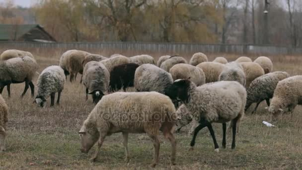 eine Schafherde im Spätherbst. Schafe grasen auf der Weide. Schafherde auf der Weide. Schafe auf der Weide, bewölkter Herbsttag. Schafe fressen Gras auf einer Weide. Schafe füttern. eine Menge Schafe in.