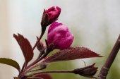 jarní apple květu