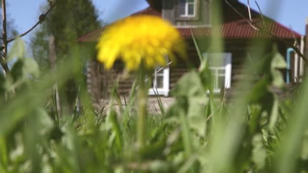 Pampeliška na pole na pozadí vesnického domu