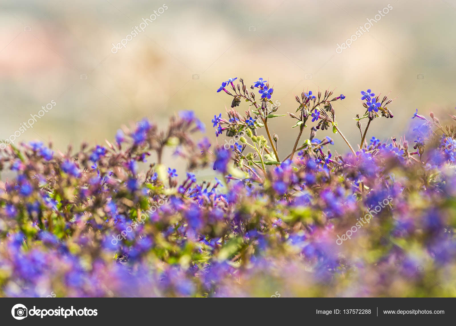 Small Blue Spring Flowers Stock Photo Argument 137572288