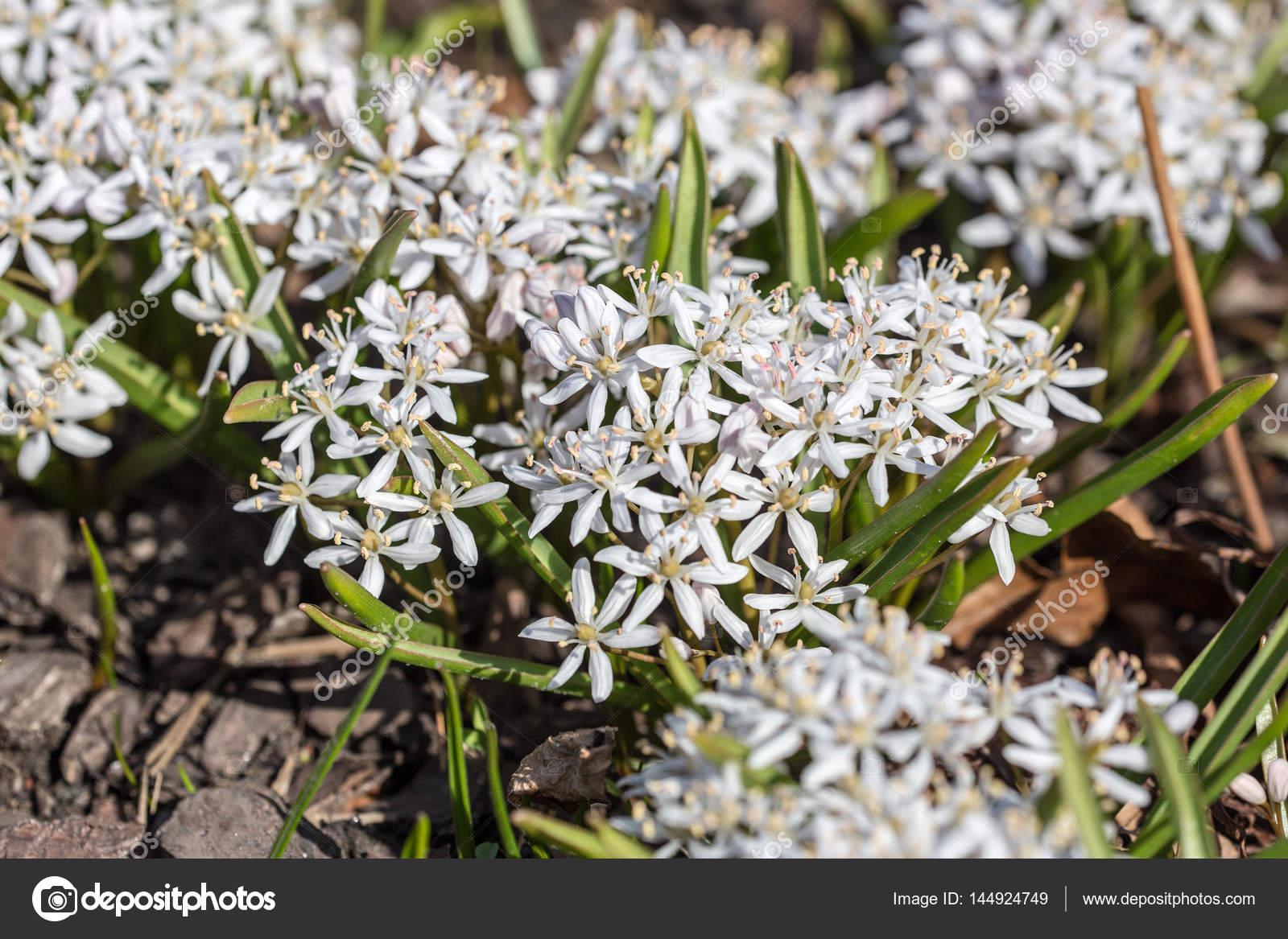 White Spring Flowers Closeup Stock Photo Argument 144924749
