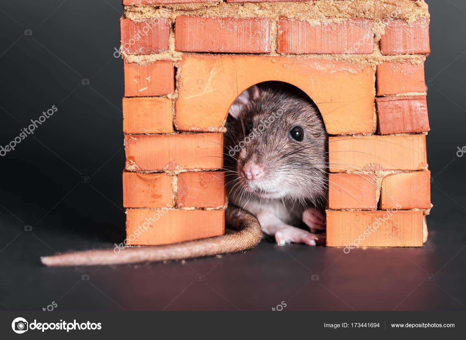 rat dans une maison great comment se dbarrasser des rats utilisez du cocacola comme dratiseur. Black Bedroom Furniture Sets. Home Design Ideas