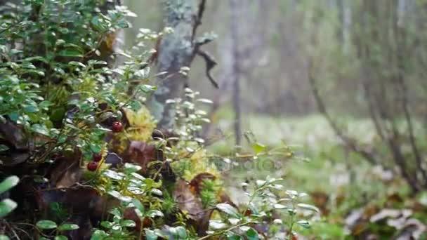 Lesních plodů brusinky rostoucí v lese