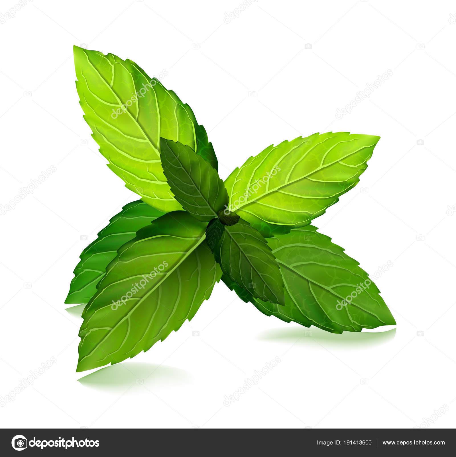 feuilles de menthe fraîche. arôme sain de vecteur menthol. plante de