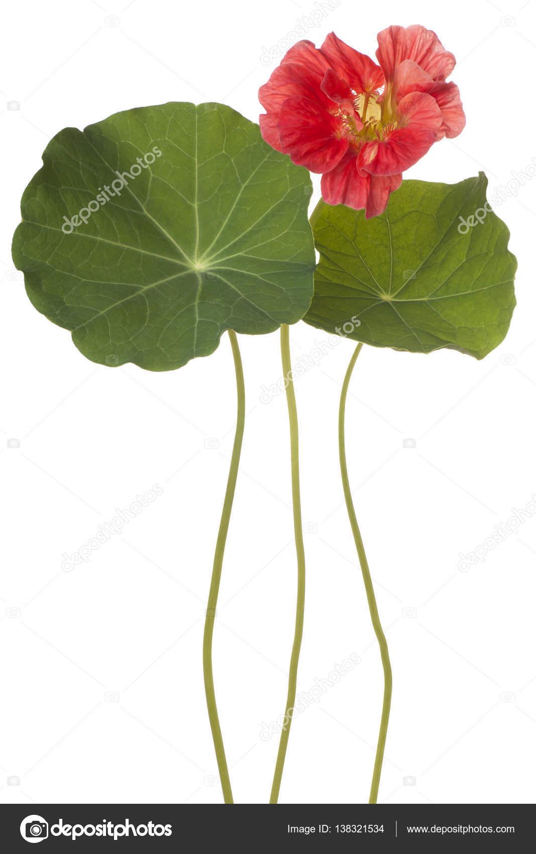 Capucine Fleurs Isolées Photographie Vilor 138321534