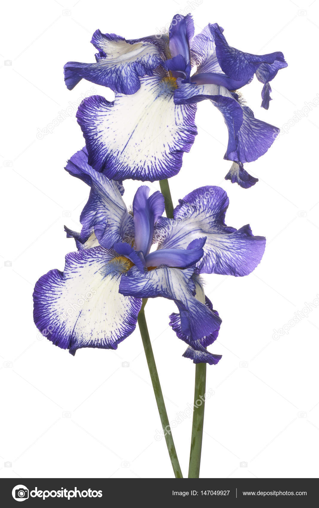 Iris flower isolated stock photo vilor 147049927 iris flower isolated stock photo izmirmasajfo