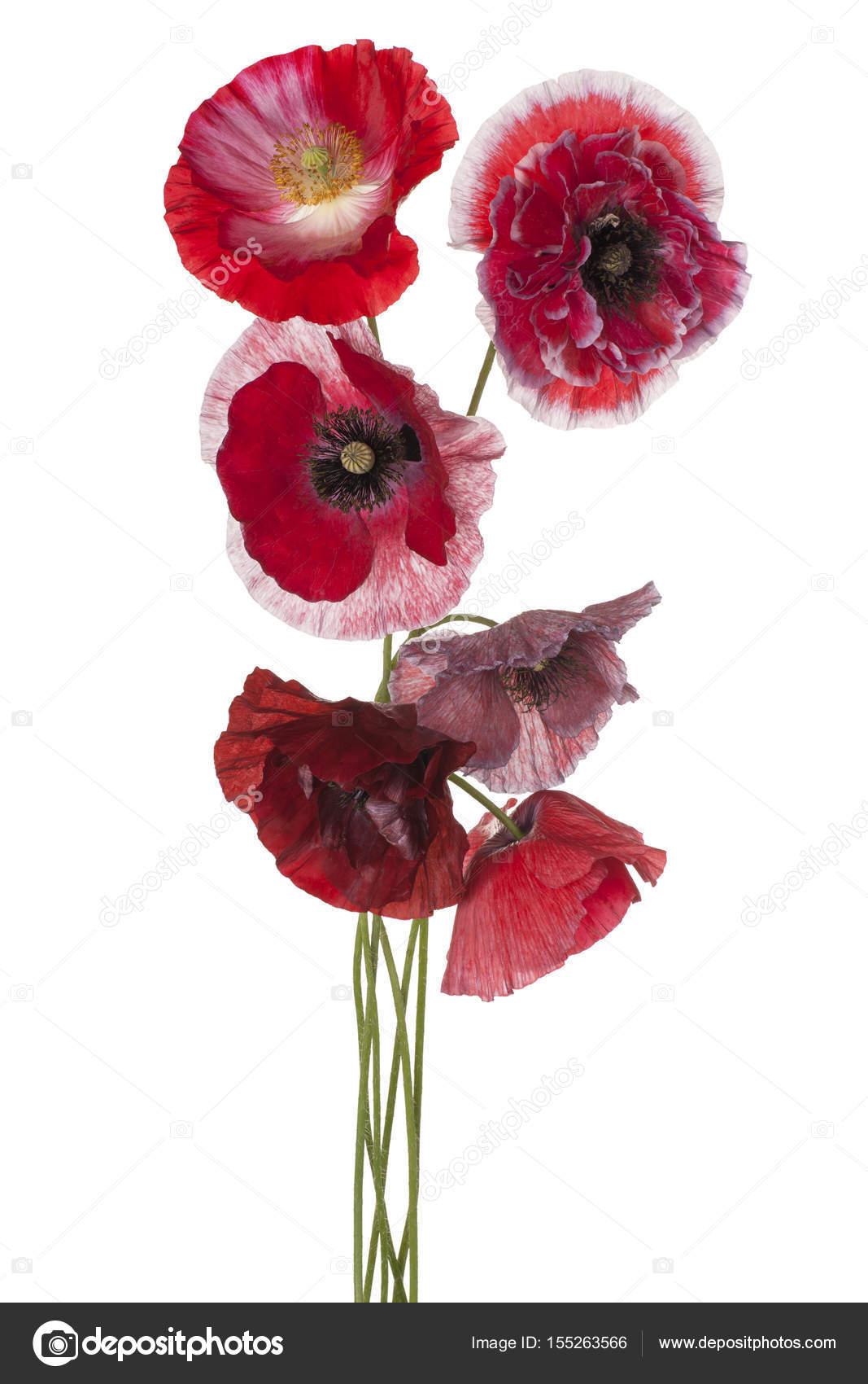 Poppy Flower Isolated Stock Photo Vilor 155263566