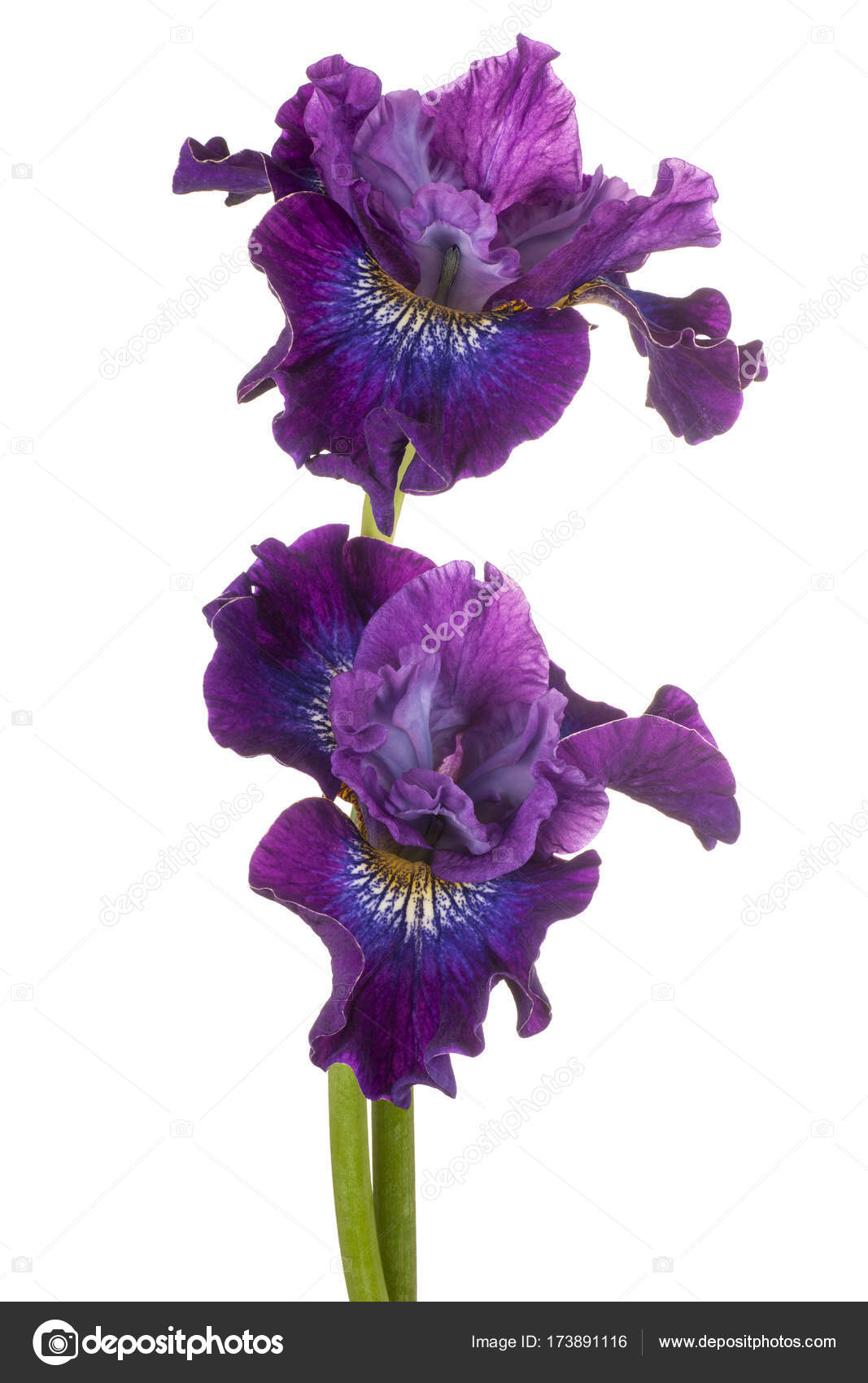 Iris flower isolated stock photo vilor 173891116 iris flower isolated stock photo izmirmasajfo