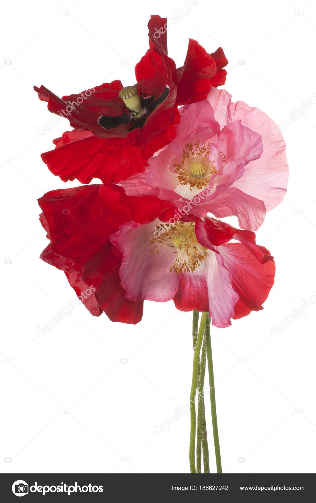 Poppy Flower Isolated Stock Photo Vilor 186627242