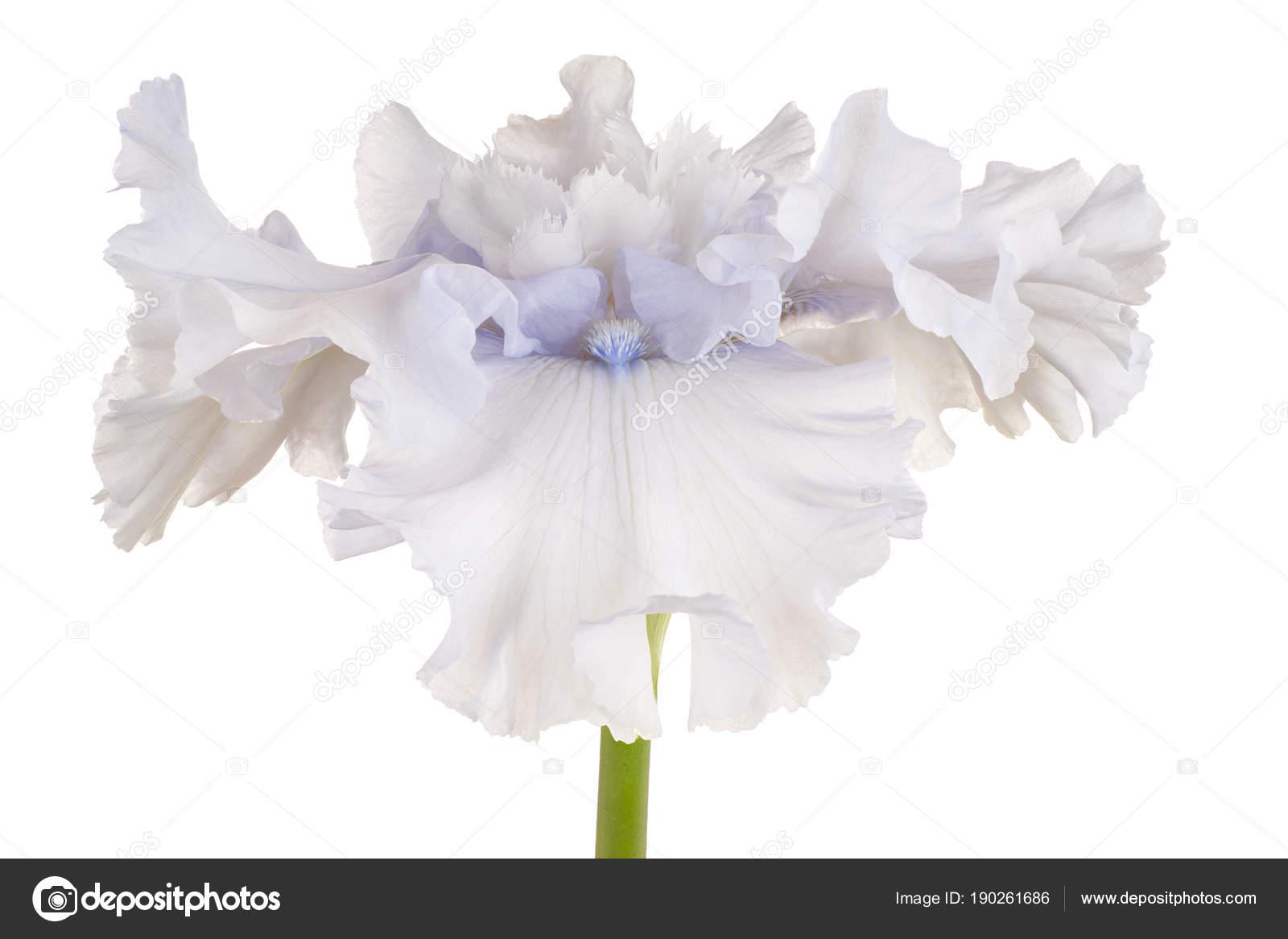 Iris Flower Isolated Stock Photo Vilor 190261686