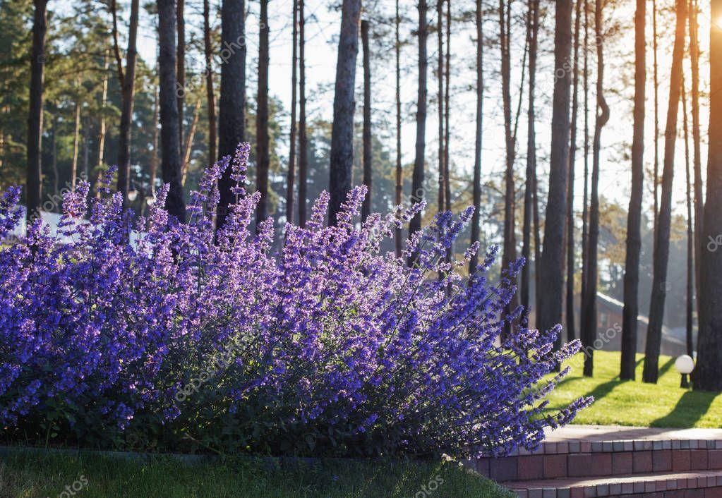 sage flowers in morning sun
