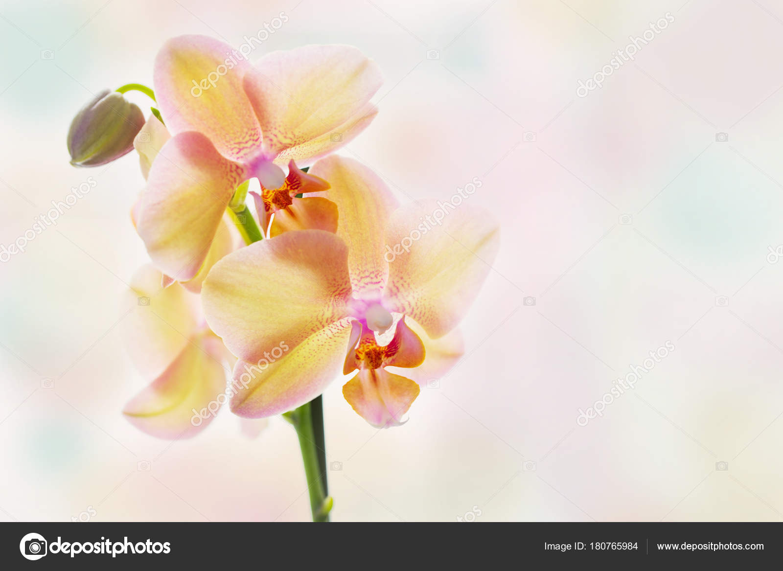 Yellow Orchid On Bright Pastel Background Stock Photo