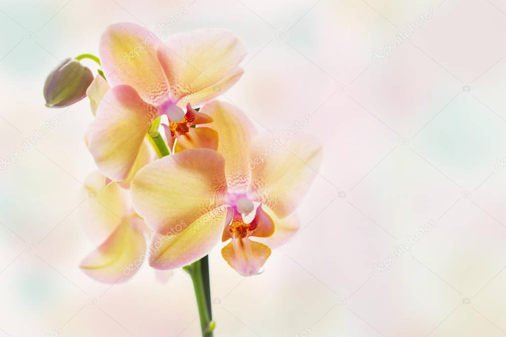yellow orchid on bright pastel background