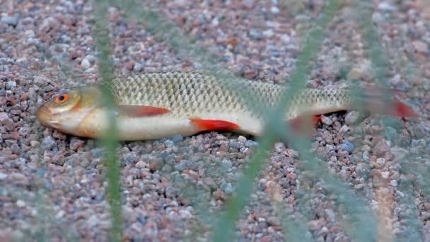Gyönyörű Rudd. Friss horgász fogás