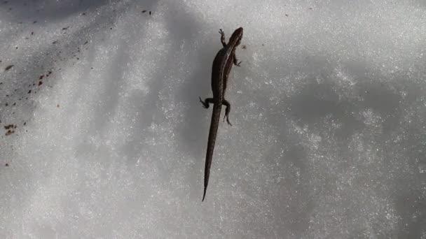 Volání jara. Těhotná ještěrka se probudí a kříží zasněžený povrch