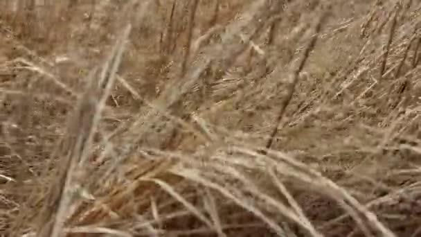 Das trockene Gras der letzten Jahre fröstelt im Wind. Symbol für vergessene Senioren