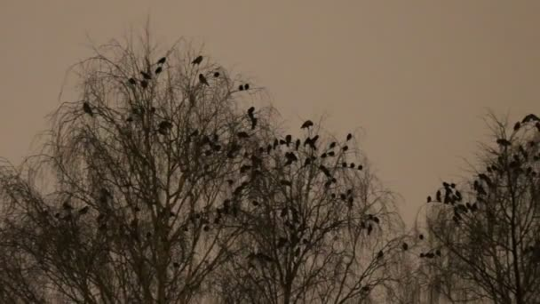 S kapucí vrány a Kavky spokojit se noci na stromech