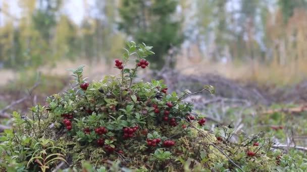 Keř červené borůvky v staré kácení lesa. Spousta červených bobulí