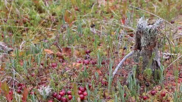 Marsh brusinkovou vrchovištních macrocarpus v bažině