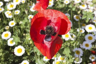 Large poppy flower on a field of daisies. Beautiful floral background.