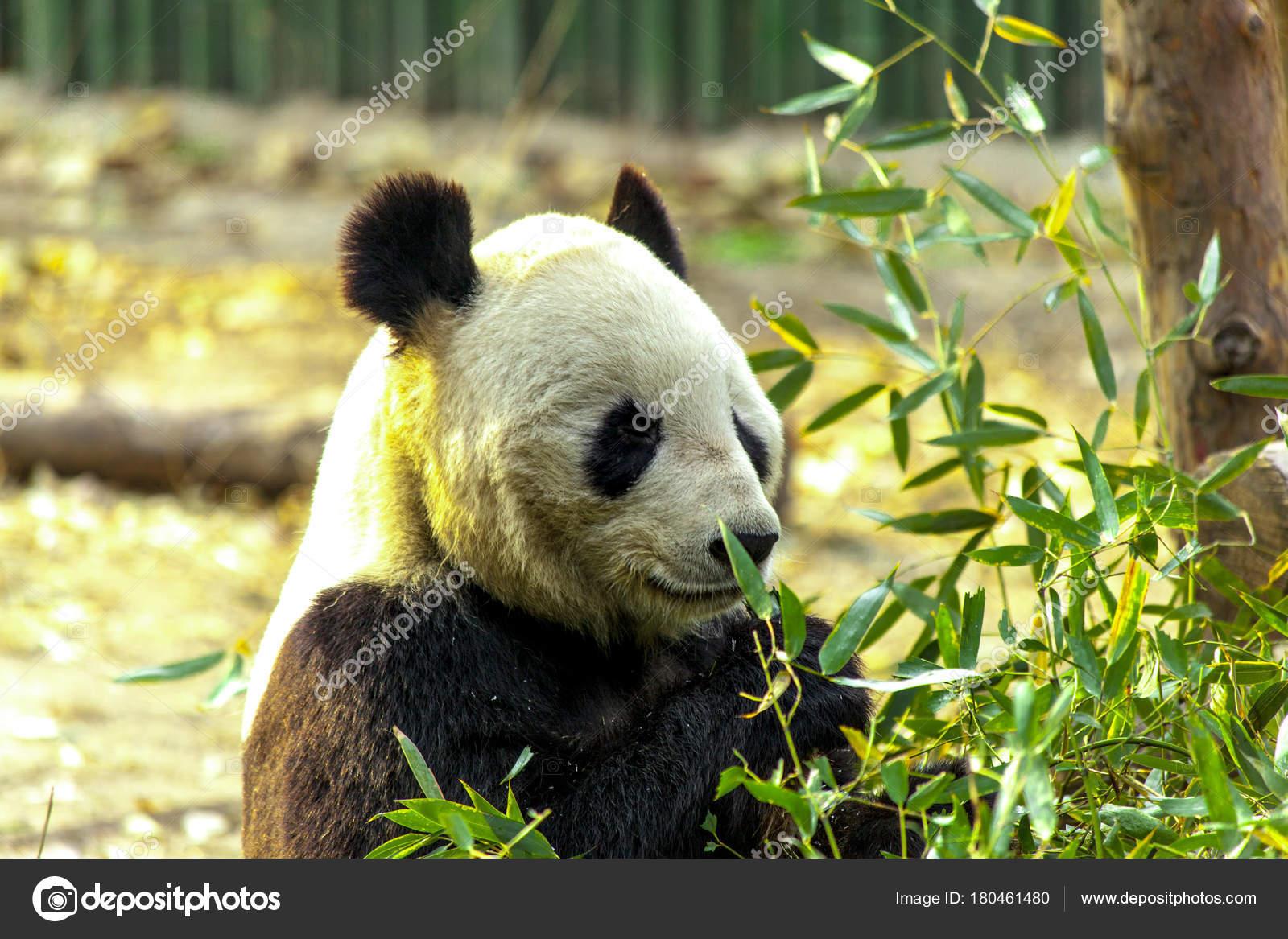 ジャイアント パンダの中国。パンダが竹を食べる — ストック写真