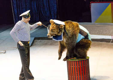 Circus. Bear and trainer performs in the arena of the circus. Circus bear. The bear performs in the circus arena.