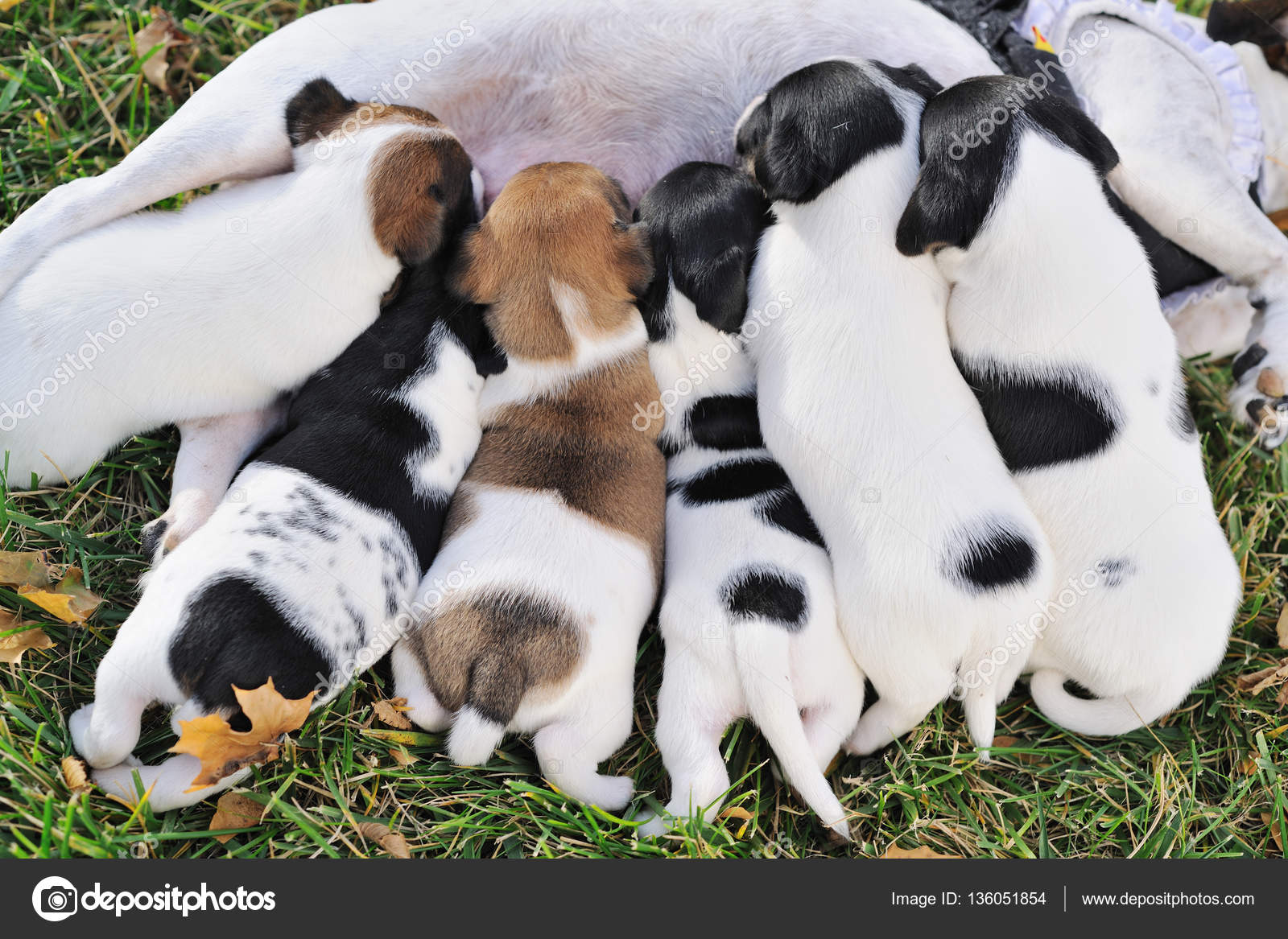 Close Up Group Of Puppies Of A Jack Russell To Suck Milk From Their