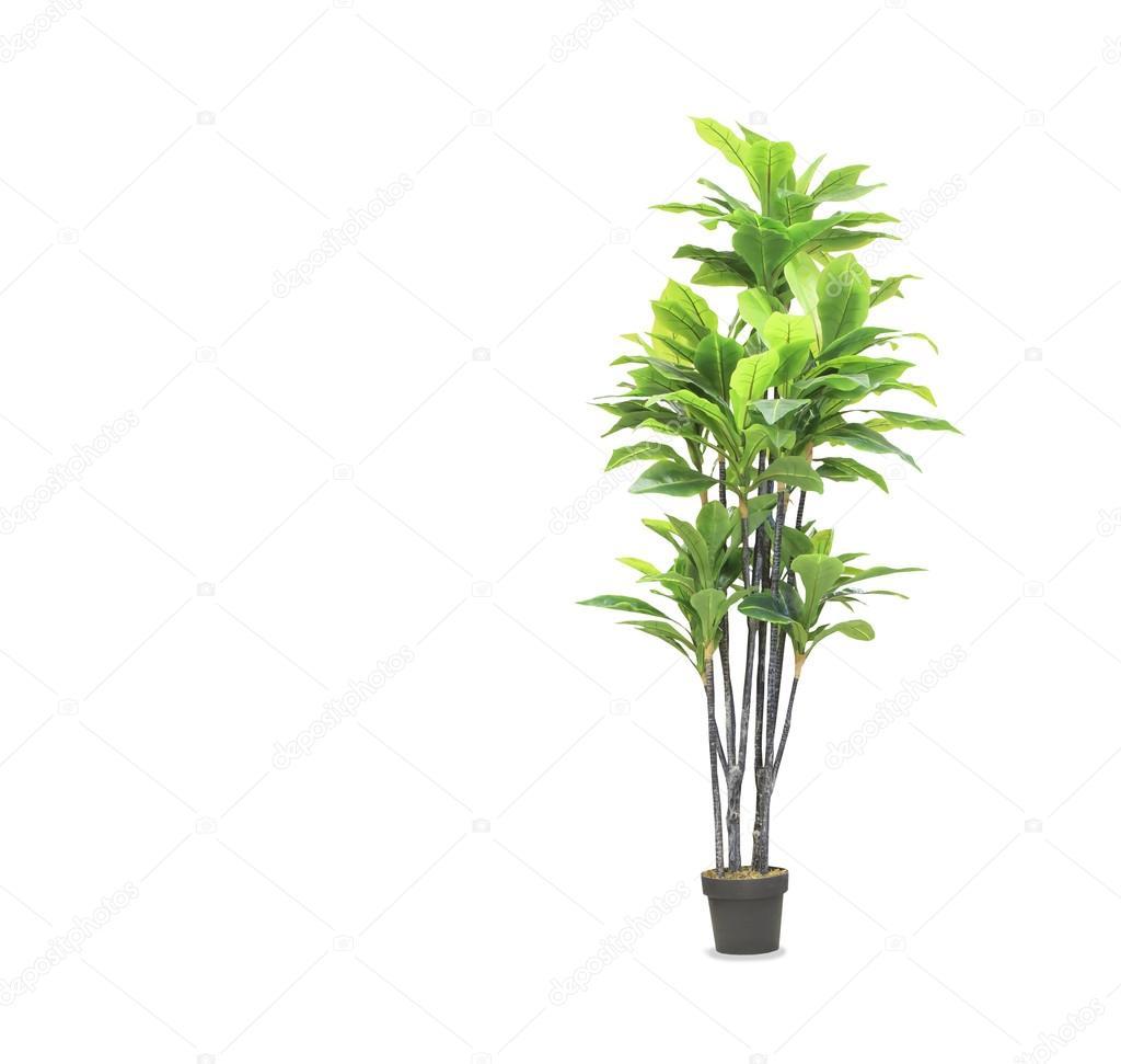 gro e dracaena palme im topf wei isoliert stockfoto kurganov 125710548. Black Bedroom Furniture Sets. Home Design Ideas