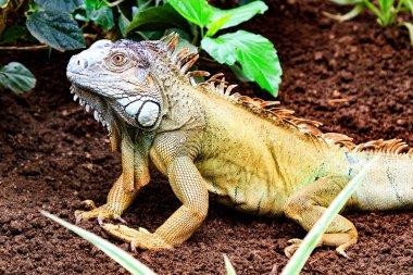 The green iguana (Iguana iguana)
