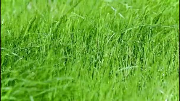 zelené trávy na vítr