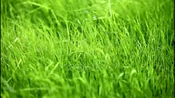 Green grass on the strong wind