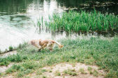 Arany-Vizsla játszik, tó közelében