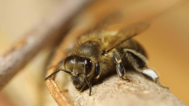 méhek a fióktelep