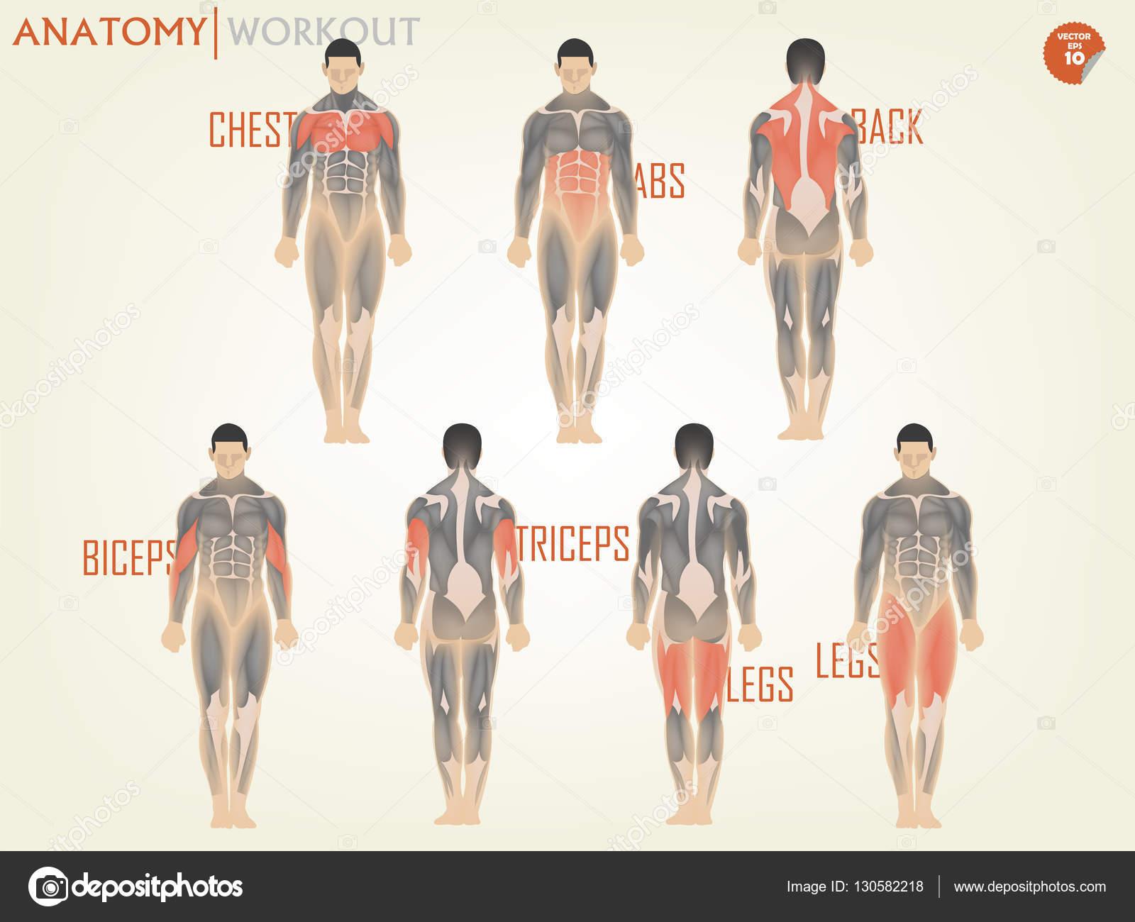 schönes Design der Anatomie für Training im Fitnessstudio bestehen ...