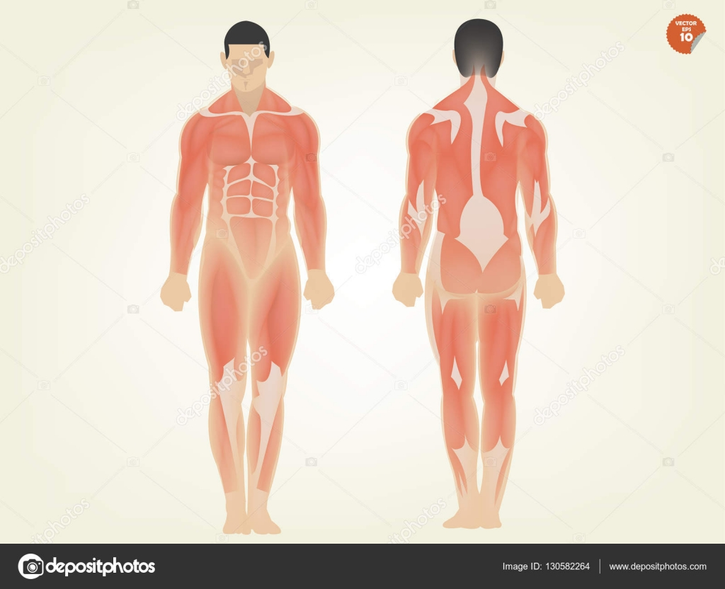 beautiful design of human anatomy front side and back side — Stock ...