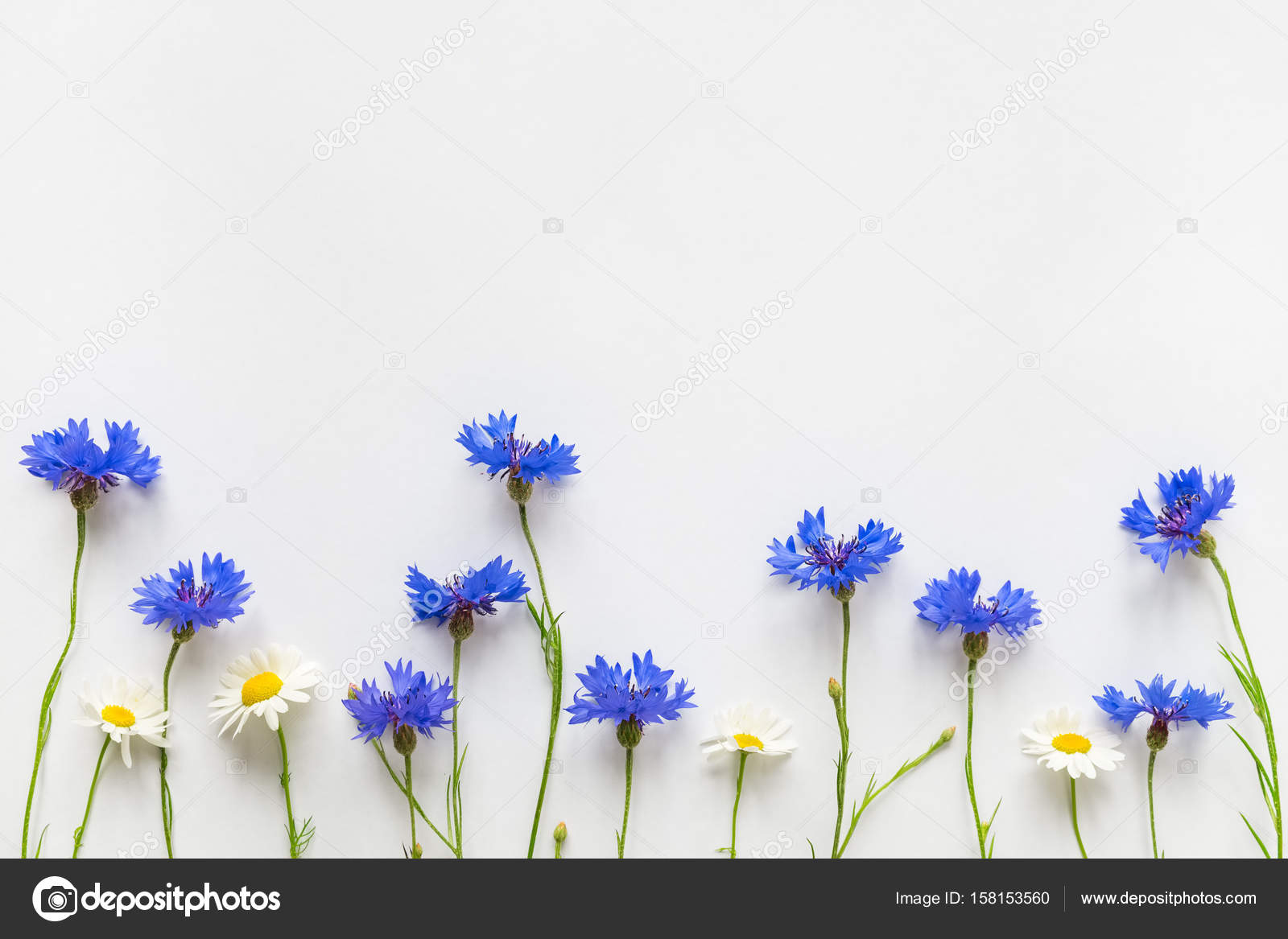 Summer blue cornflowers and daisy flowers on white background with summer blue cornflowers and daisy flowers on white background with copy space flat lay izmirmasajfo