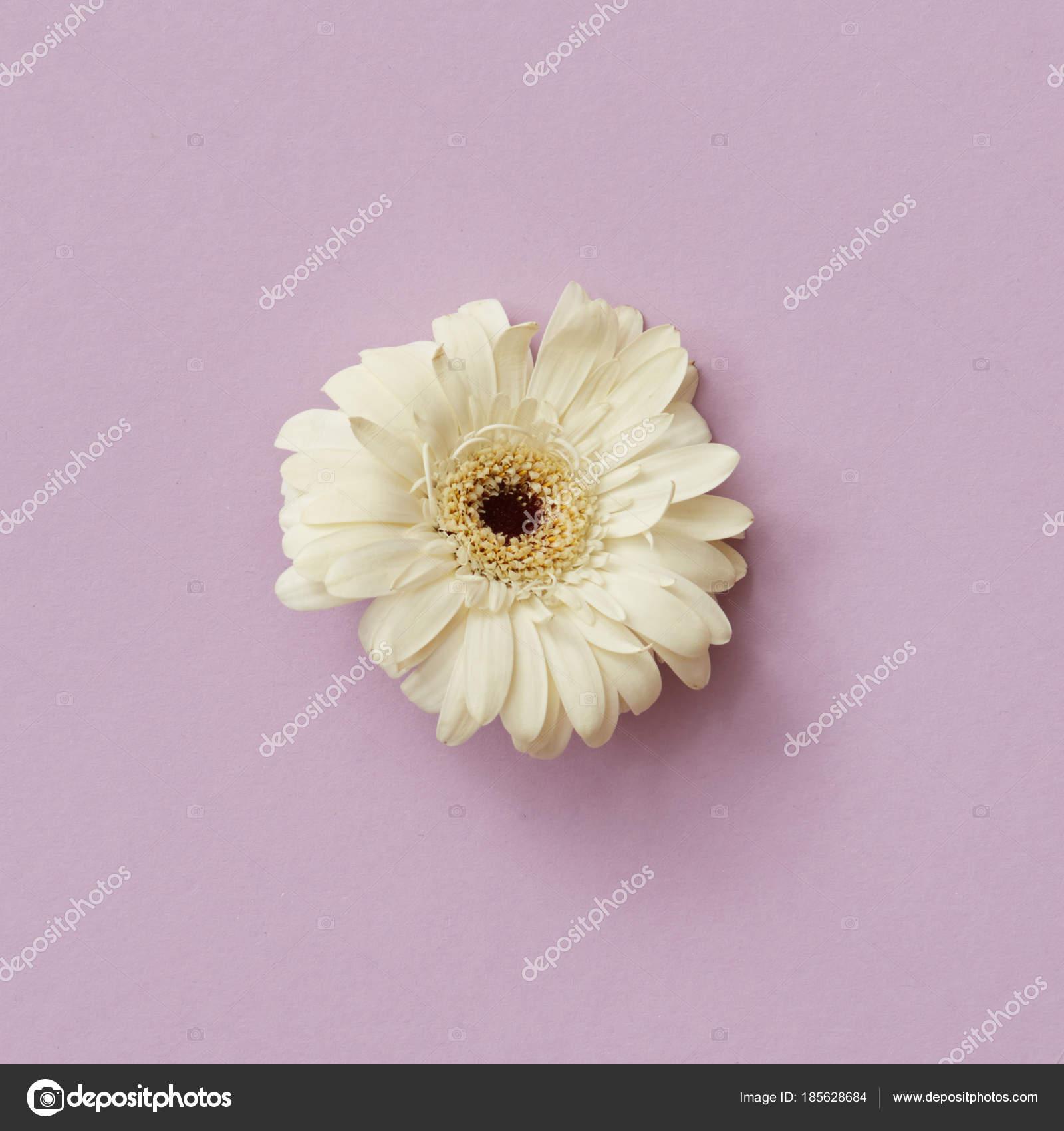 Beautiful White Gerbera Flower Pink Background Greeting Card