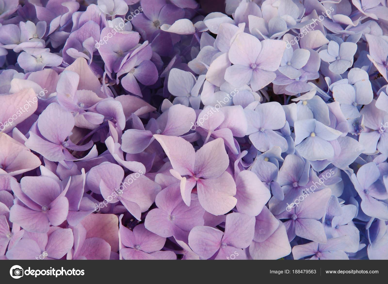 Blue And Pink Hydrangea Macrophylla Stock Photo Akova777 188479563