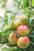 Fotografie Ripe green apples